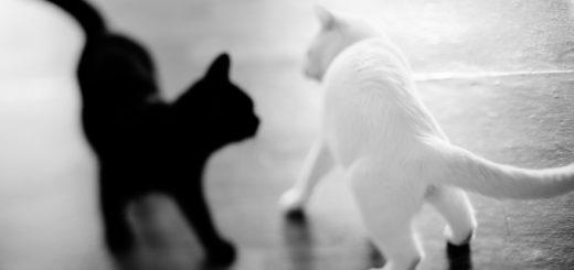 Черный и белый коты на сером фоне