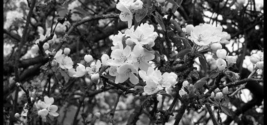 Вишневый сад, черно-белое фото
