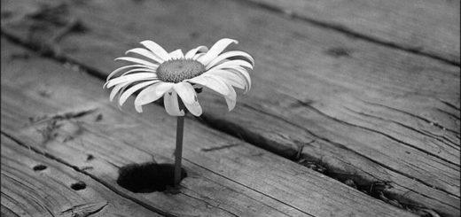 Ромашка, черно-белое фото