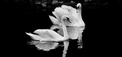 лебединая верность, черно-белое фото