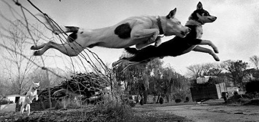 собаки преодолевают барьер, победа, черно-белое фото