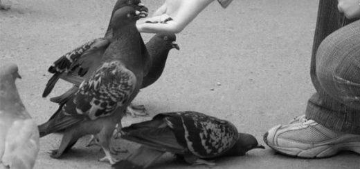 человек кормит голубей, черно-белое фото