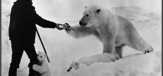 медведь и человек, взаимопомощь, белый медведь, черно-белое фото