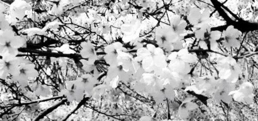 вишня, дерево и цветы вишни, черно-белое фото