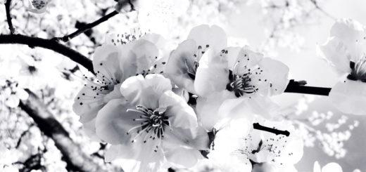 вишневый сад, цветы вишни, черно-белое фото