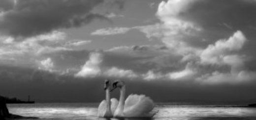 лебединая пара, лебединая верность