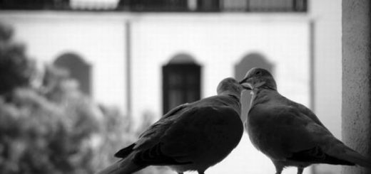 два голубя, любовь