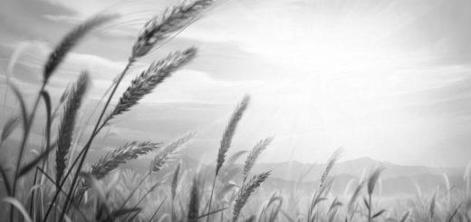 колосья, поле на восходе