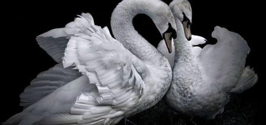 два белых лебедя, символ верности