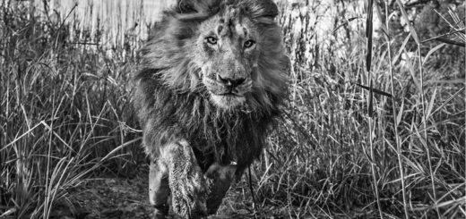 лев, символ отваги