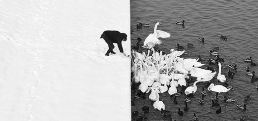 человек кормит лебедей
