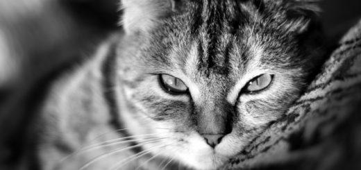 ленивый кот крупным планом