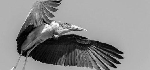 Аист Марабу, африканская птица