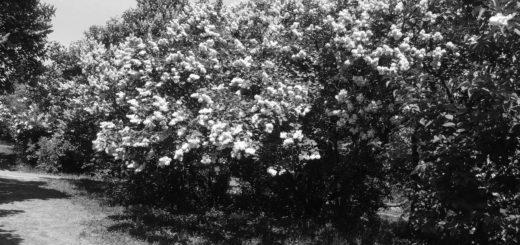 Кусты цветущей сирени в мае