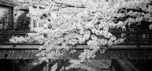 вишневый сад, вишня в цвету