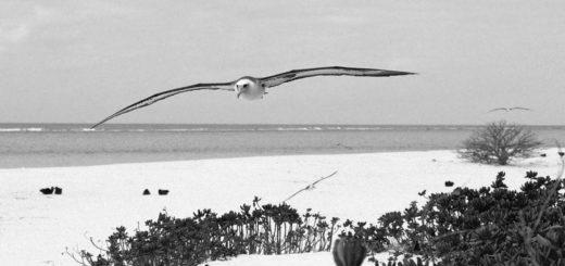 альбатрос парит над островом