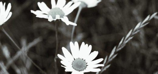 русская природа, поле, ромашки, колосья