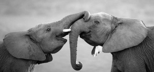 взрослые слоны