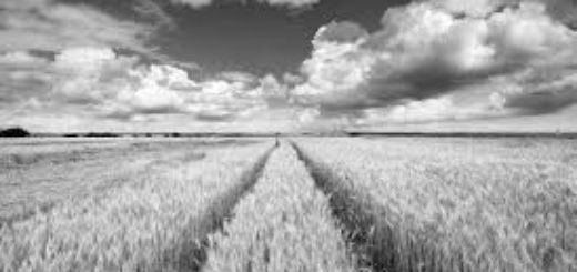 поле, рожь, покос