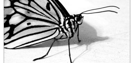 черно-белая бабочка