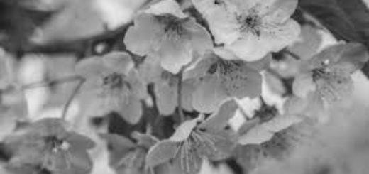 вишня в цвету, вишневое дерево