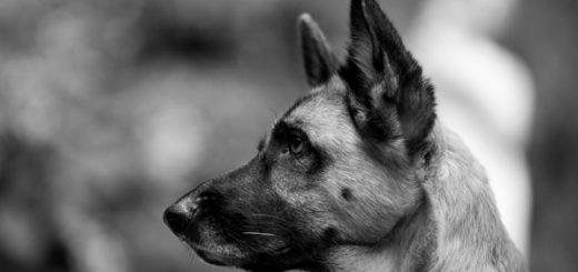 собака, пес, животное