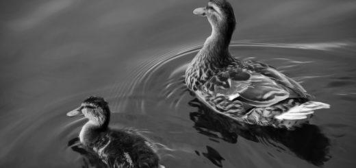 утка и утенок плавают в пруду