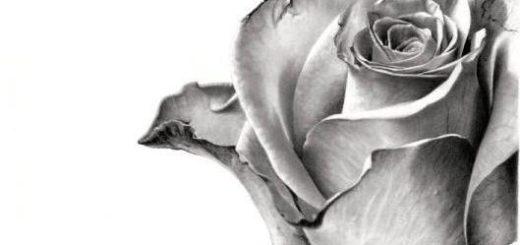 роза на белом фоне