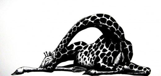 жираф лежит на белом фоне