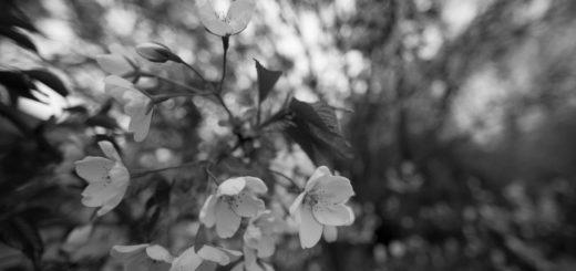вишневый сад, иллюстрация к пьесе